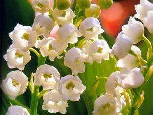 Il mughetto è il fiore del primo maggio in Francia