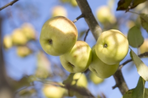 apple-tree-1435870-3-m