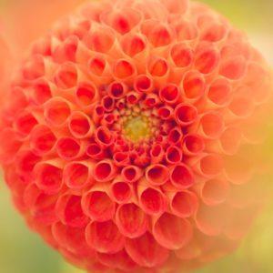 maggio fiore
